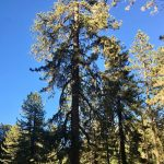 Amid Pine Mountain's ancient trees, a forest 'thinning' project triggers protests 6