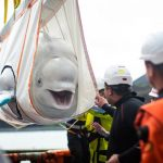Beluga whale couple travels 6,000 miles to be freed at world's first open-water sanctuary 5