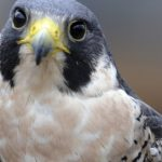 Vermont cliffs closed for nesting peregrine falcons have reopened 7