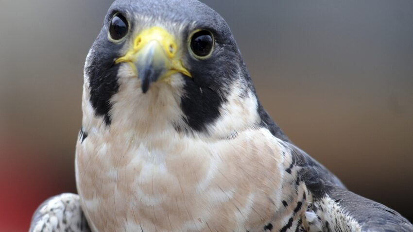 Vermont cliffs closed for nesting peregrine falcons have reopened 1
