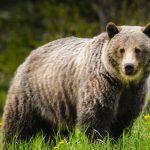 Colorado bear opens pickup truck door and swipes picnic bag 15