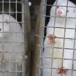 Scientists study coronavirus outbreaks among minks in Europe 6