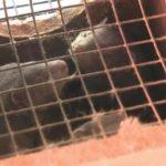 Oregon says mink farm has a Covid-19 outbreak 8