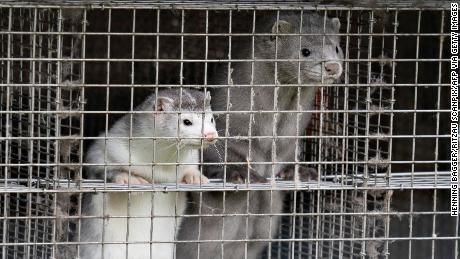 Denmark plans to cull up to 17 million mink to stop mutated coronavirus 1