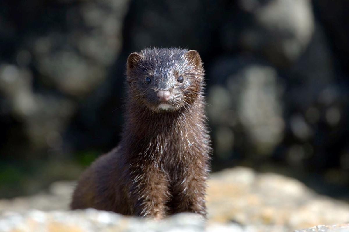 COVID-19 outbreak kills thousands of minks on Utah fur farms 1