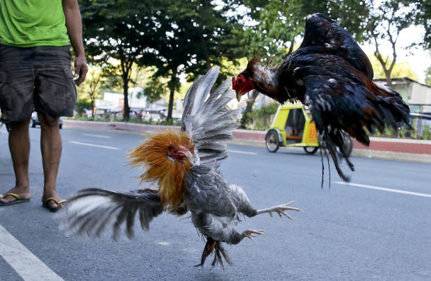 Police officer killed by rooster's blade during cockfight raid 1