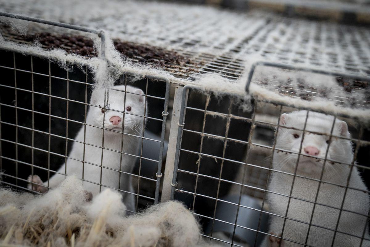 Coronavirus is striking American mink farms, but Illinois' shrinking fur industry has so far escaped the virus 1