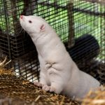Oregon mink farm has COVID-19 outbreak after advocates warned of danger in state 6