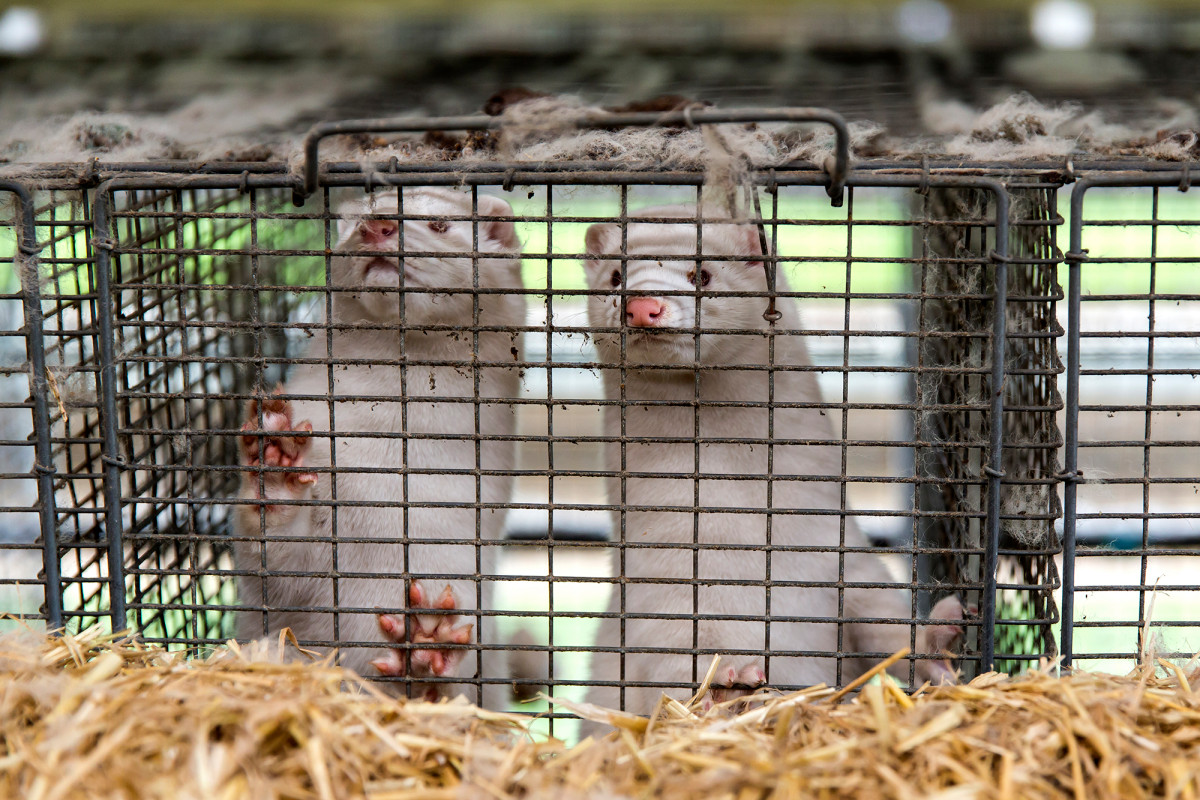Potential COVID-19 vaccine works against mutant mink strain in early trials 1