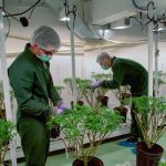 U.N. Reclassifies Cannabis as a Less Dangerous Drug 6