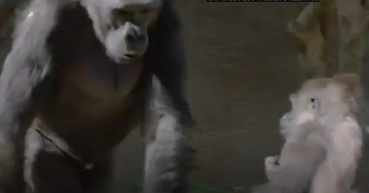 Zoos, scientists working on ways to keep people from giving the coronavirus to animals 1