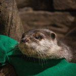 Otters test positive for COVID-19 at Georgia Aquarium 4