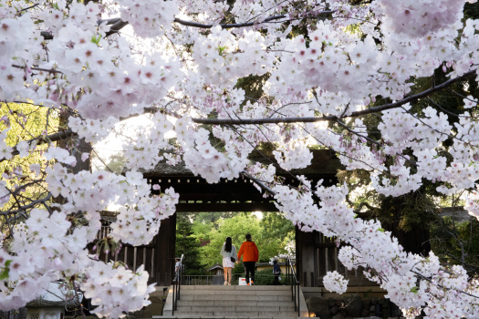Photos: Hakone opens gardens for daytime (and nighttime) cherry blossom viewing 1