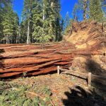Yosemite: Giant sequoia grove reopens after 100 mph winds topple 15 ancient trees 2