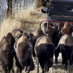 Fees increase as Bison Range opens under tribal management 6