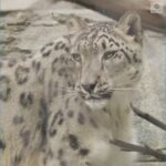 WATCH: Snow leopard at San Diego Zoo catches COVID-19 9