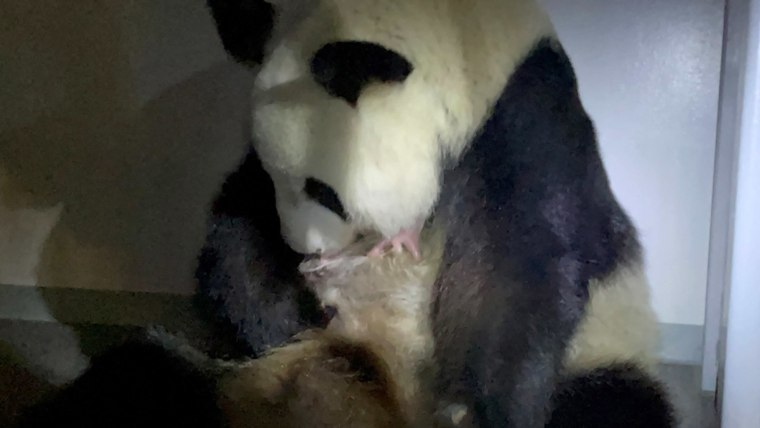 Giant pandas no longer classed as endangered after population growth, China says 1
