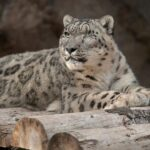 Unvaccinated snow leopard at San Diego Zoo catches COVID-19 11