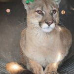 Wildlife officers remove mountain lion from under a deck in Englewood 3