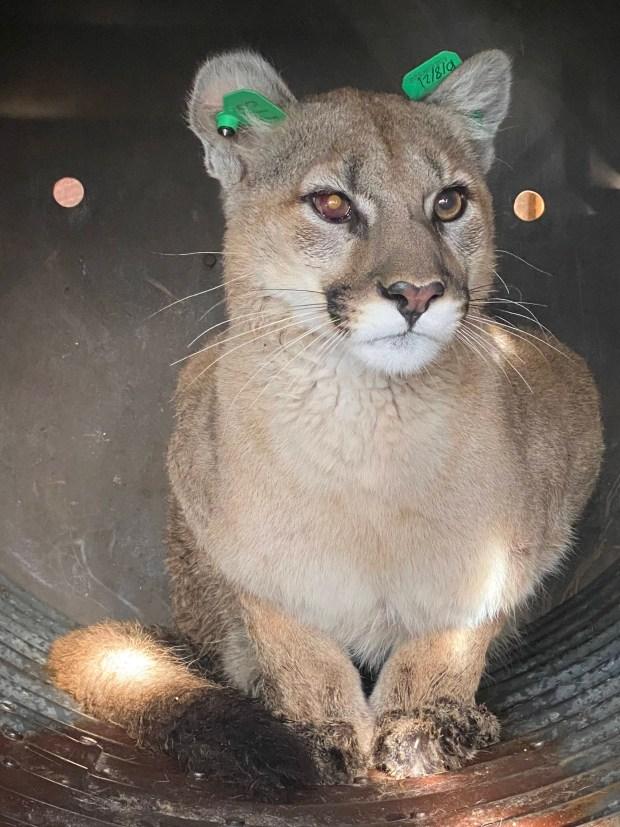 Wildlife officers remove mountain lion from under a deck in Englewood 1