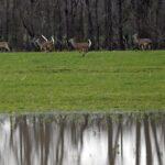 40% of wild deer have coronavirus antibodies, new study finds 4