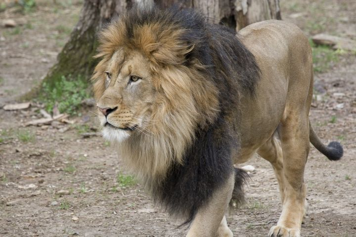 All The Lions And Tigers At DC's National Zoo Have Tested Positive For COVID-19 1