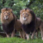 Big cats at Smithsonian Zoo test positive for coronavirus 6