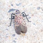 Kansas State Fair entry sparks invasive-pest investigation as crop-ravaging spotted lanternfly jumps quarantine 13