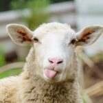 Officers Follow Runaway Sheep on Highway Chase 4