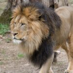 Big cats likely sick with COVID-19 at National Zoo in Washington 7