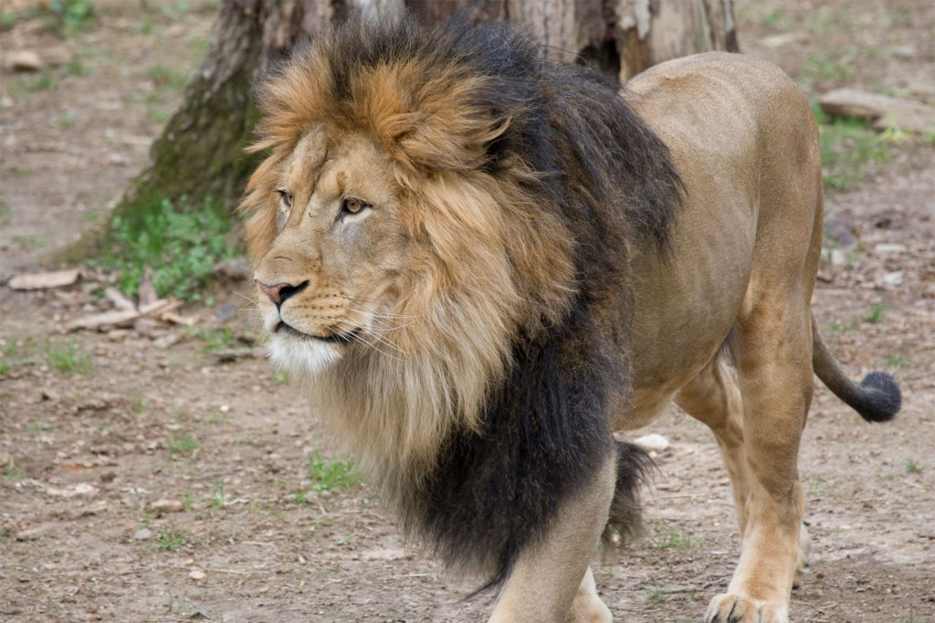 Big cats likely sick with COVID-19 at National Zoo in Washington 1